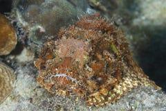 等待井被伪装的被察觉的石头鲈伏击一条通过的鱼 免版税图库摄影