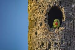 等待:Psittacula krameri或罗斯圈状的长尾小鹦鹉青少年 库存图片
