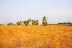 米领域在收获和椰子以后 免版税库存图片
