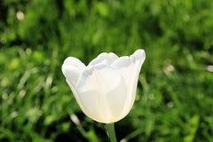 精美和优美的白色郁金香在春天太阳的光芒的下草甸 库存图片