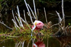 粉红琵鹭哺养 免版税图库摄影