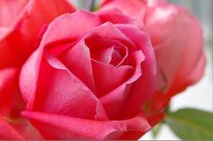 红玫瑰 red rugosa rose stock photo