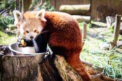 红熊猫吃 库存图片