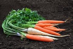 红萝卜和荷兰芹在土壤 库存照片