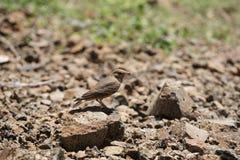 红褐色被盯梢的百灵,Ammomanes phoenicura,萨斯瓦德,浦那县,马哈拉施特拉,印度 图库摄影