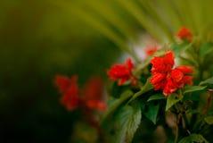 红色大竺葵在一automn天 图库摄影