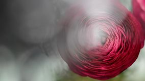 红色毛茛属花关闭与美好的bokeh在背景中 股票录像