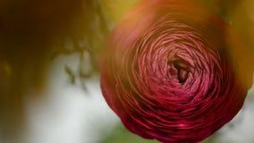 红色毛茛属花关闭与美好的bokeh在背景中 股票视频