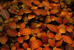 红色绿色花卉背景fittonia 免版税库存图片