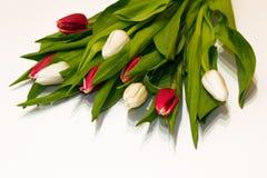 红色的特写镜头和在白色背景隔绝的白色新鲜的郁金香花 卖花人工作准备的假日 日s华伦泰 免版税库存照片