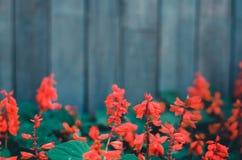 红色花在庭院里 免版税图库摄影