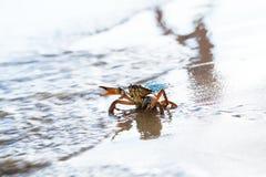 红色螃蟹特写镜头  免版税库存照片