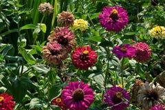 红色,橙色和黄色花在庭院里 库存照片