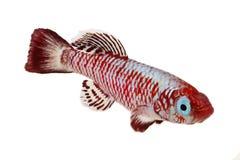 红色eggersi锵鱼水族馆鱼Nothobranchius eggersi 库存照片