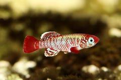 红色eggersi锵鱼Killi水族馆鱼Nothobranchius eggersi 免版税库存照片