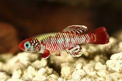红色eggersi锵鱼Killi水族馆鱼Nothobranchius eggersi 免版税库存图片