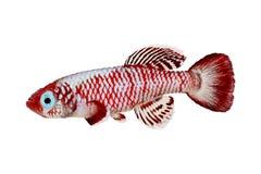 红色eggersi锵鱼Killi水族馆鱼Nothobranchius eggersi 图库摄影