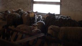 绵羊牧群 Dity在槽枥产小羊和绵羊 绵羊在谷仓 股票视频