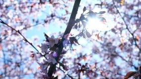绽放摇动的佐仓在风在春天反对天空蔚蓝,光束亮光通过分支 股票录像