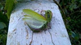 绿化螳螂 好的昆虫 免版税库存照片