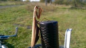 绿化螳螂 好的昆虫 免版税图库摄影