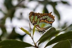 绿沸铜蝴蝶,Siproeta stelenes是一只neotropical刷子有脚的蝴蝶 免版税库存图片