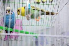 绿色和蓝色鹦哥鹦鹉关闭坐笼子在镜子附近 逗人喜爱的绿色budgie 鹦鹉从干燥耳朵草吃 逗人喜爱 库存图片