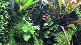 绿色和黑毒物箭青蛙或毒物箭头青蛙 股票视频