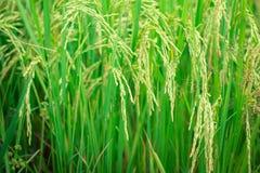 绿色米进入培养的农业领域早期种田 库存照片