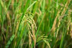 绿色米进入培养的农业领域早期种田 库存图片