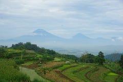 绿色米领域看法在小山的 免版税库存图片