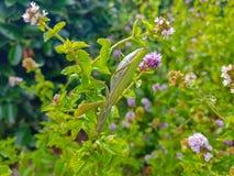 绿色螳螂religiosa在等待它的牺牲者的薄荷的植物中 免版税库存照片