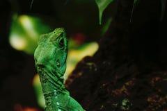 绿色鬣鳞蜥在密林 库存照片