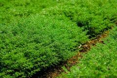 绿色鸡豆领域 库存照片