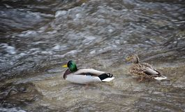 结合男性和母野鸭-野鸭游泳在河的语录platyrhynchos 从上面射击 库存图片