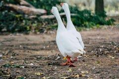 结合走在公园的鸭子鹅 免版税库存图片
