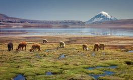 羊魄的吃草在湖Chungara岸的骆马类pacos在萨哈马火山基地,在智利北部 免版税图库摄影