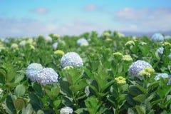 美丽的八仙花属花 库存照片