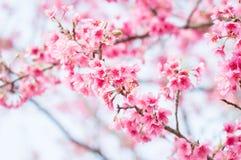 美丽的桃红色樱花在庭院里 免版税库存照片