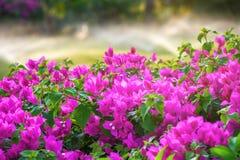 美丽的桃红色花开花用洒草的灌溉和水 免版税图库摄影