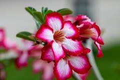美丽的桃红色花在启发爱和激情的庭院里 免版税库存照片