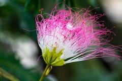 美丽的桃红色花在启发爱和激情的庭院里 库存图片
