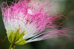 美丽的桃红色花在启发爱和激情的庭院里 图库摄影