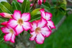 美丽的桃红色花在启发爱和激情的庭院里 免版税库存图片