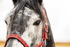 美丽的灰色马和红色鞔具 库存图片