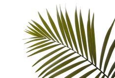 美丽的热带棕榈叶 库存照片