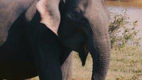 美丽的特写镜头被射击与开放的嘴的大激动的狂放的大象,拍动他的在晴朗的夏天大草原的耳朵 股票录像