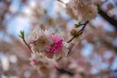 美丽的盛开桃红色白色樱花花的关闭 库存照片