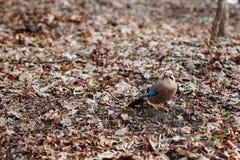 美丽的鸟杰伊在秋叶背景的秋天 免版税库存照片