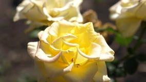 美丽的黄色玫瑰在夏天开花在庭院里 特写镜头 花企业概念 美丽的花开花  影视素材